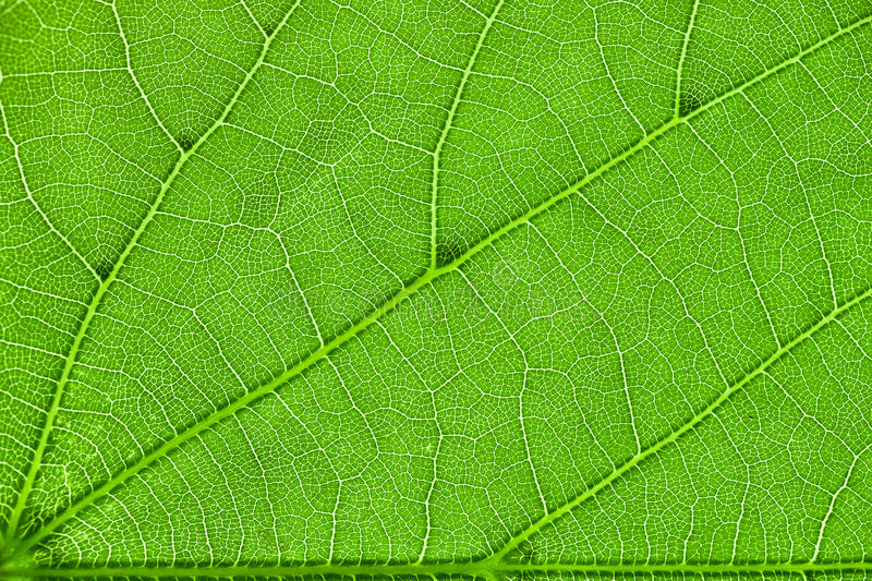 Download Inside of the leaf stock photo. Image of macro, tree - 33299742