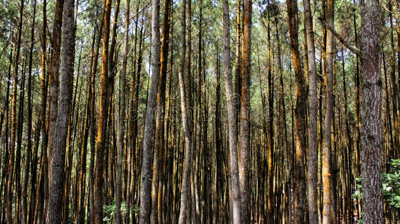 Inside the pine tree forest stock image