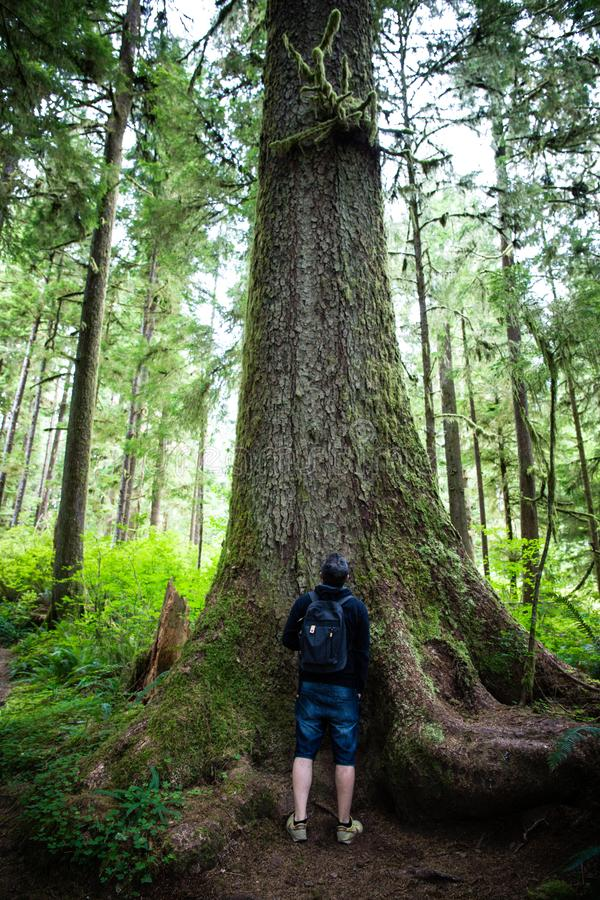 Inside the Rainforest: Hoh and Quinault national forest landscapes: man in awe under the highest douglas firs in the world.  stock photography