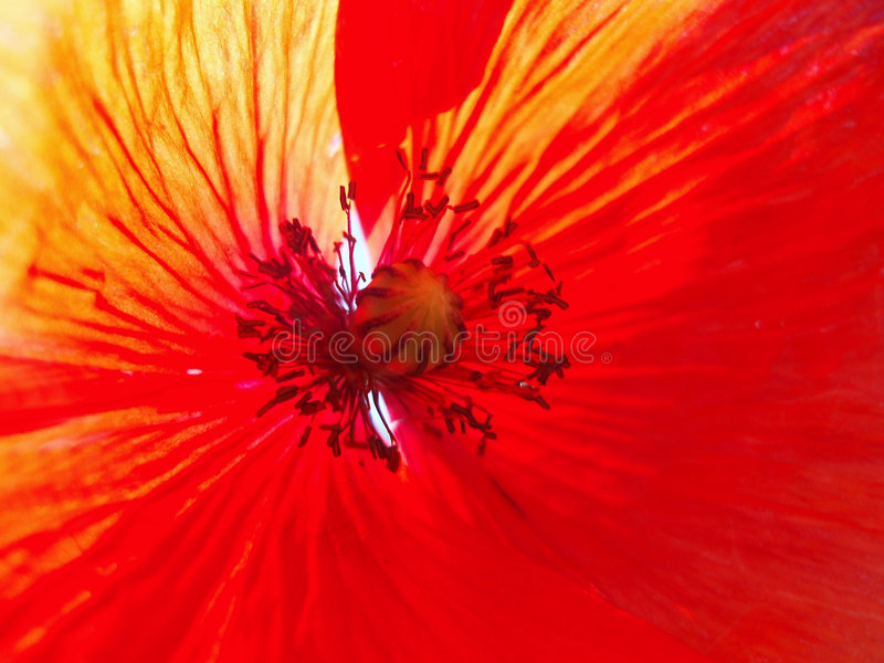 Download Inside of red poppy stock image. Image of close, grow, seasonal - 214721