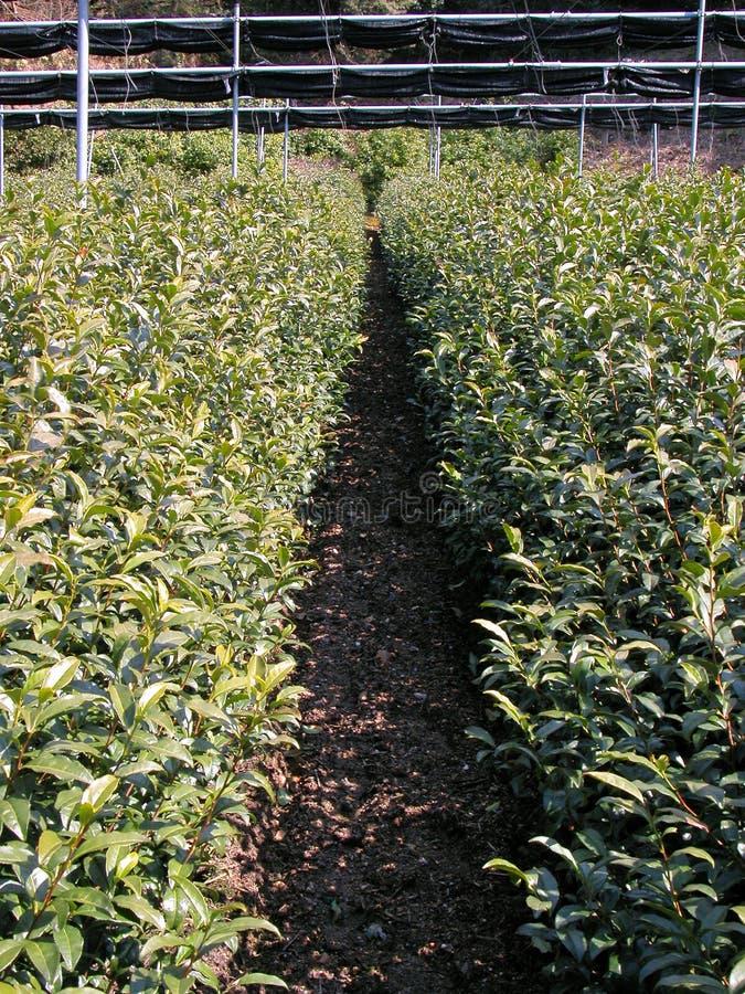 Download Inside tea culture stock image. Image of food, harvest - 961519