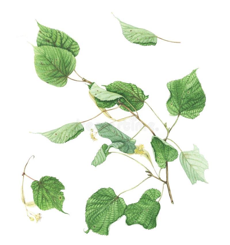 Insieme botanico con i rami e le foglie del tiglio, pittura dell'acquerello illustrazione di stock