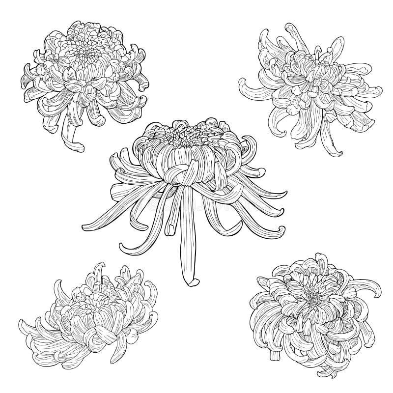 Insieme botanico di schizzo del disegno dell'inchiostro di scarabocchio del crisantemo dell'elemento orientale del fiore illustrazione di stock