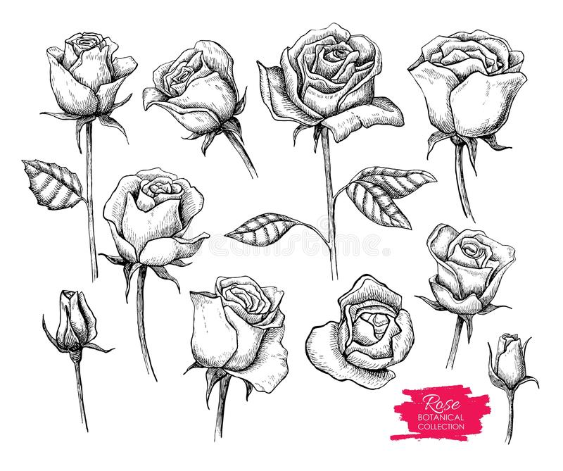 Insieme botanico disegnato a mano della rosa di vettore Raccolta incisa royalty illustrazione gratis