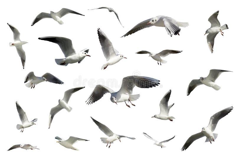 Insieme degli uccelli di volo bianchi isolati. gabbiani immagine stock