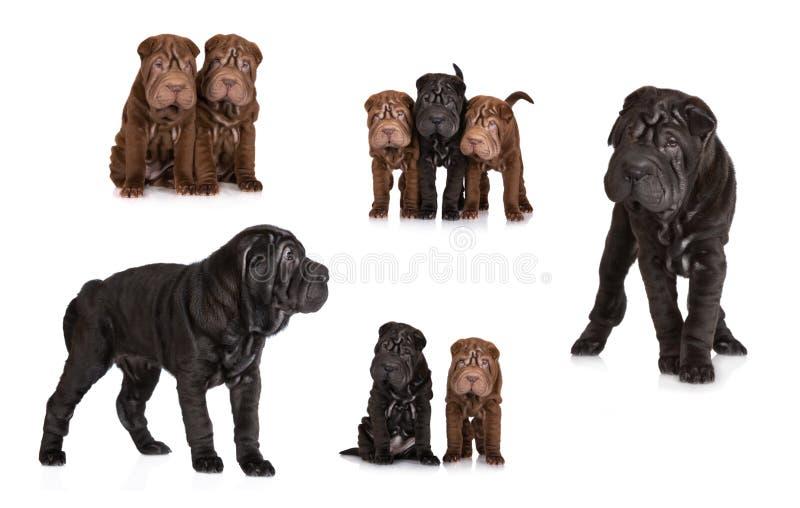 Insieme dei cuccioli shar di pei fotografia stock