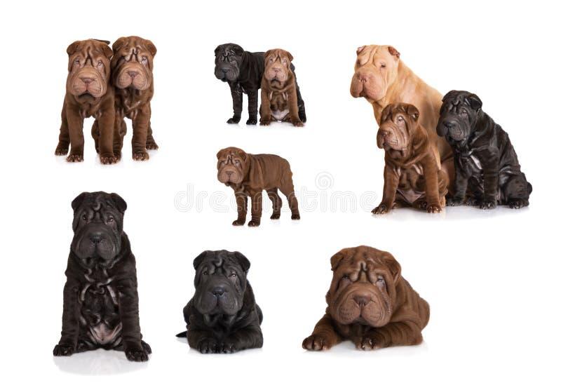 Insieme dei cuccioli shar di pei immagine stock libera da diritti