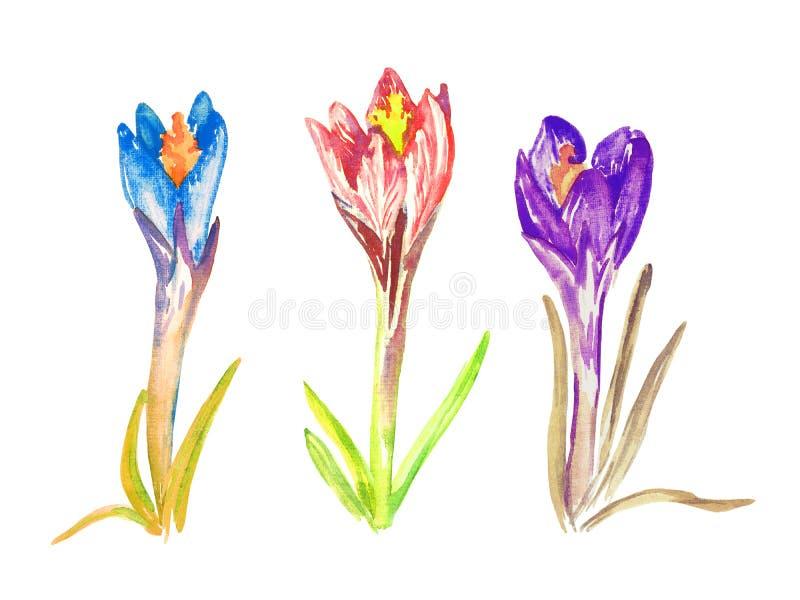 Insieme dei fiori blu, rosa e porpora del croco, isolati su bianco illustrazione di stock
