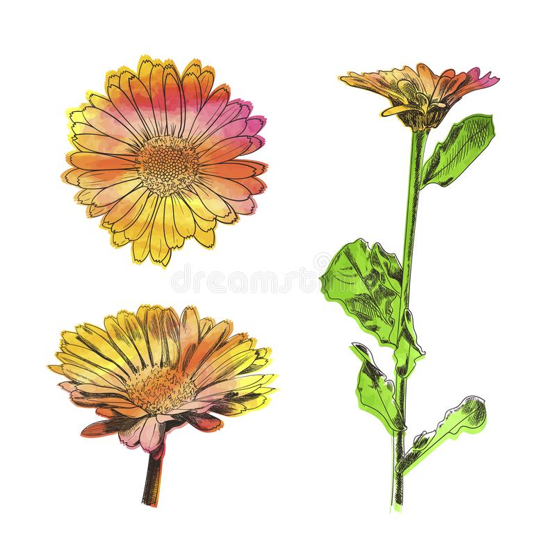 Insieme dei fiori dell'acquerello di vettore isolato su fondo bianco, calendula, margherite illustrazione vettoriale