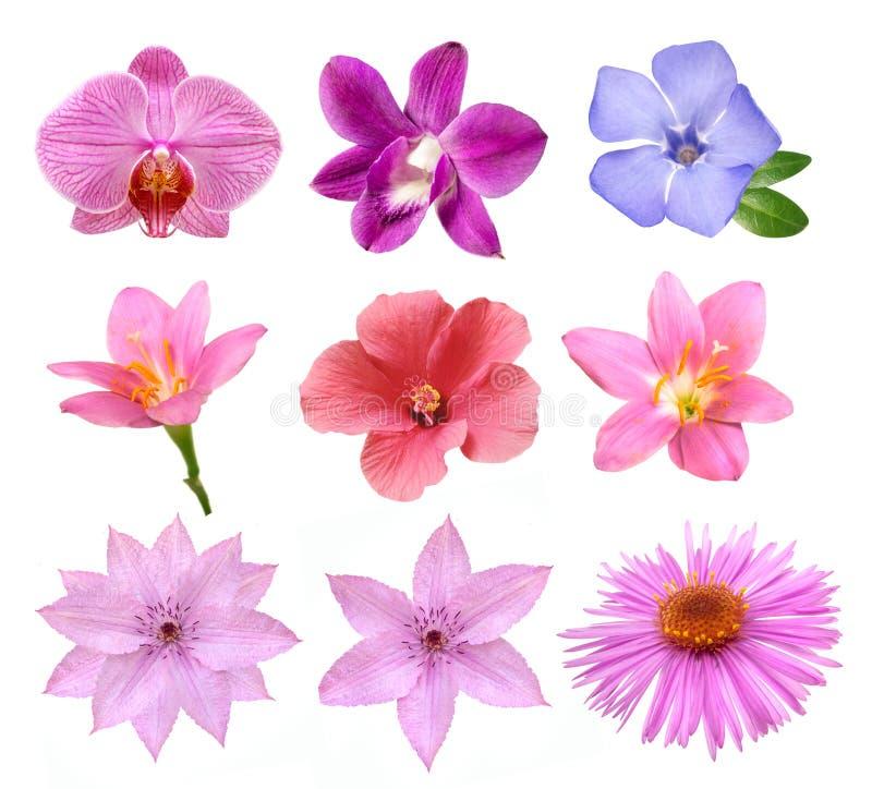 Insieme dei fiori rosa teneri isolati fotografia stock libera da diritti