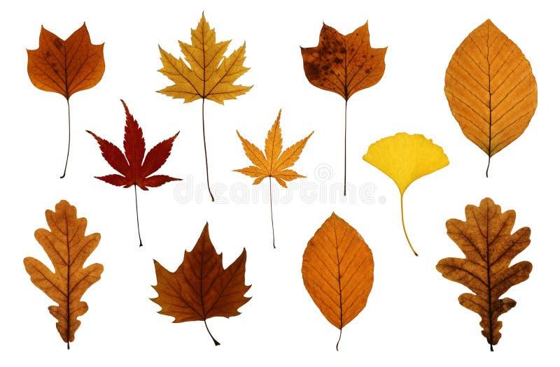 Insieme dei fogli di autunno isolati su bianco fotografia stock