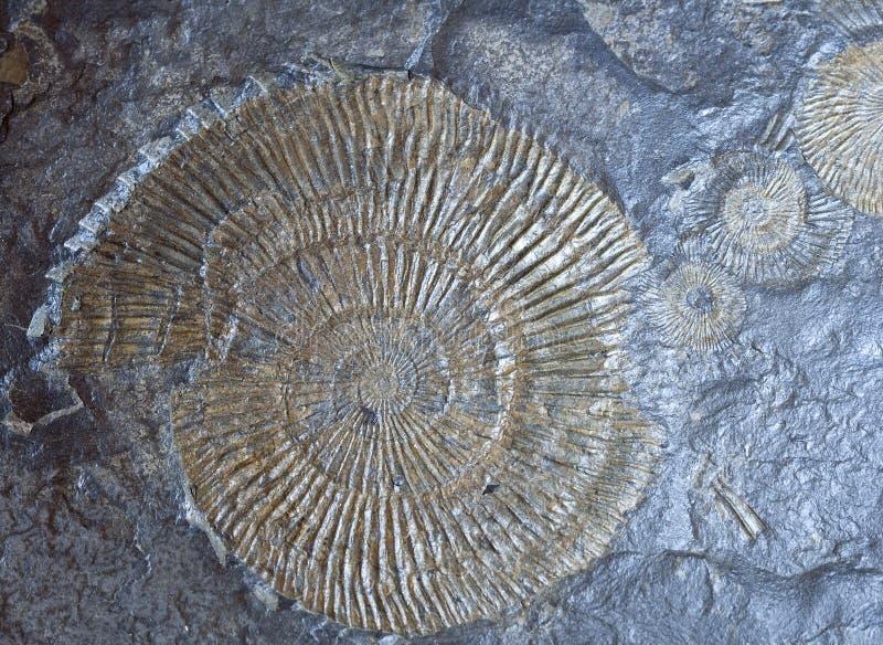 Insieme dei fossili dell'ammonite fotografie stock