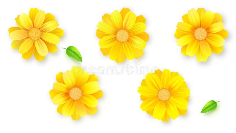 Insieme dei germogli del fiore e delle foglie verdi Margherita, gerbera, fiori del crisantemo isolati su bianco, illustrazione di royalty illustrazione gratis