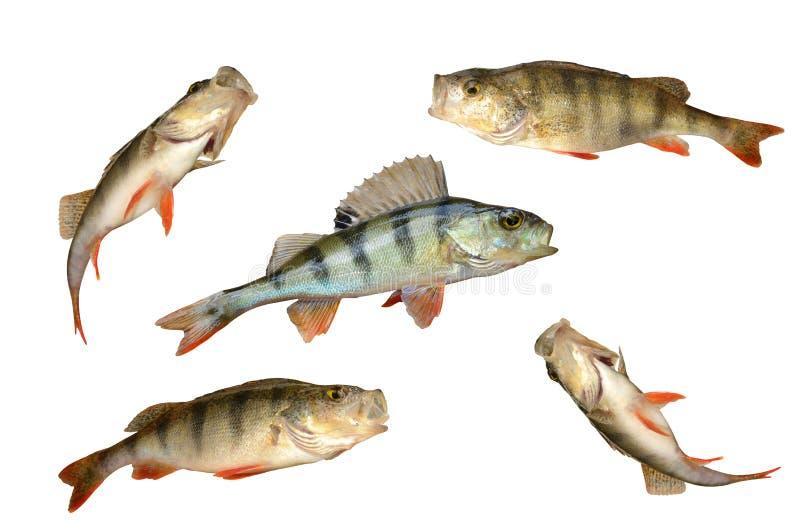 Insieme dei pesci della perchia immagine stock