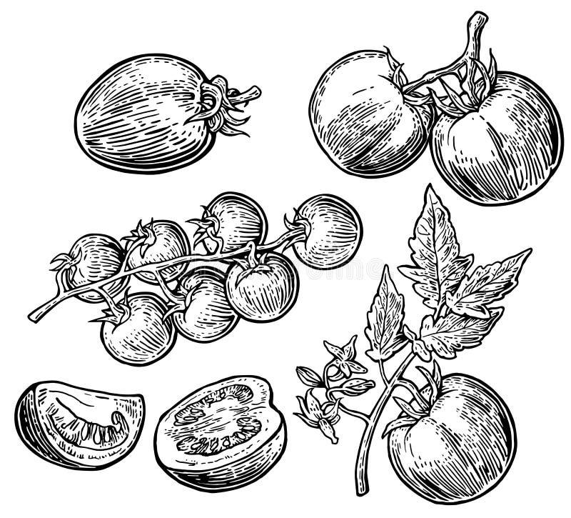 Insieme dei pomodori disegnati a mano su fondo bianco Il pomodoro, la metà e la fetta isolati hanno inciso l'illustrazione illustrazione di stock
