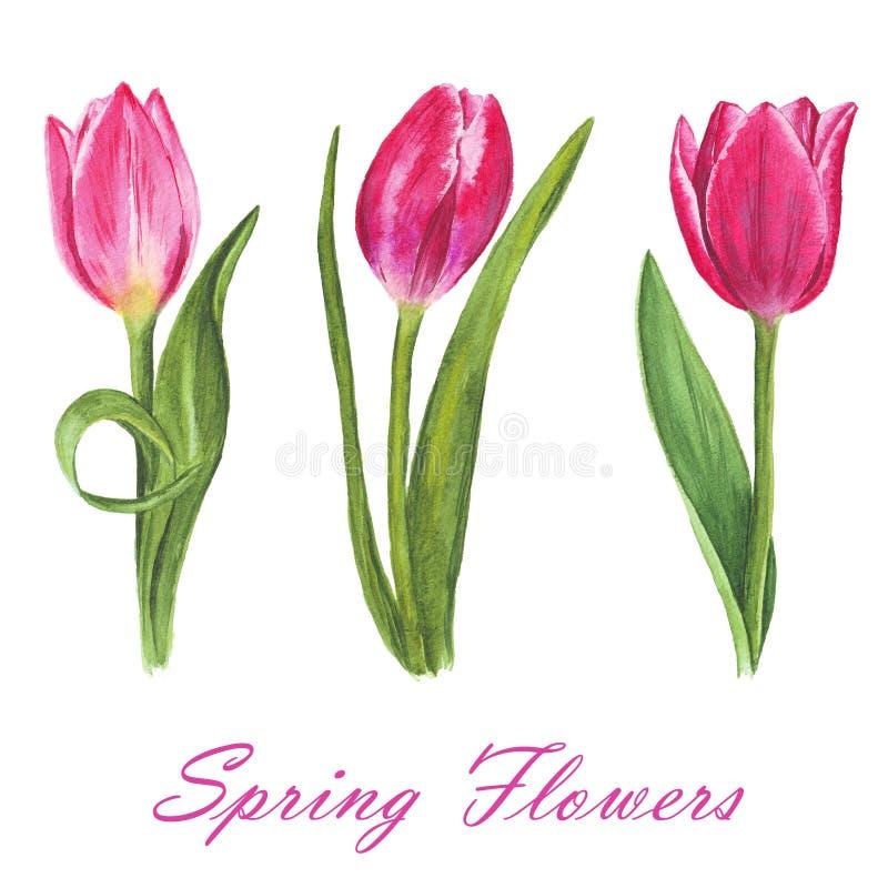 Insieme dei tulipani isolati dell'acquerello su fondo bianco immagini stock libere da diritti