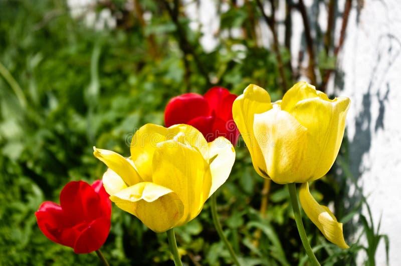 Insieme dei tulipani variopinti piacevoli immagine stock