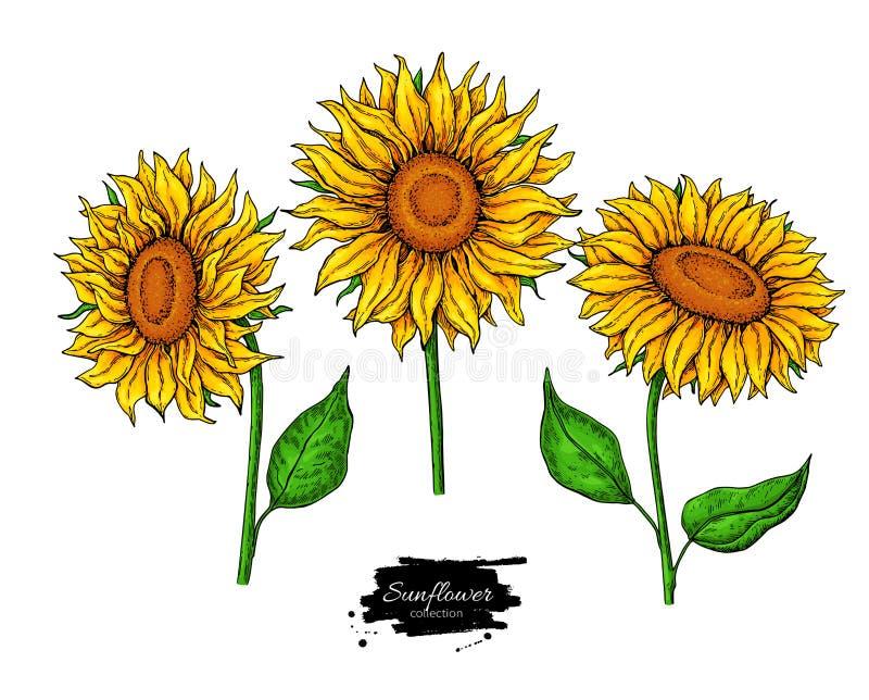 Insieme del disegno di vettore del fiore del girasole Illustrazione disegnata a mano isolata su fondo bianco royalty illustrazione gratis