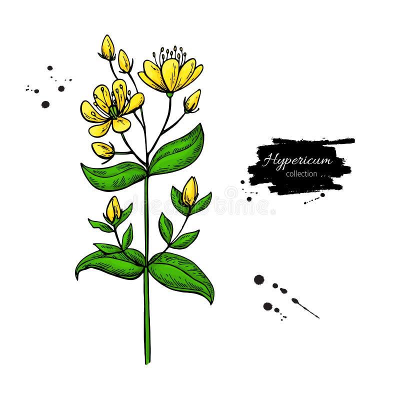 Insieme del disegno di vettore del mosto di malto di St John s Fiore selvaggio e foglie isolati di iperico Illustrazione di erbe  illustrazione vettoriale