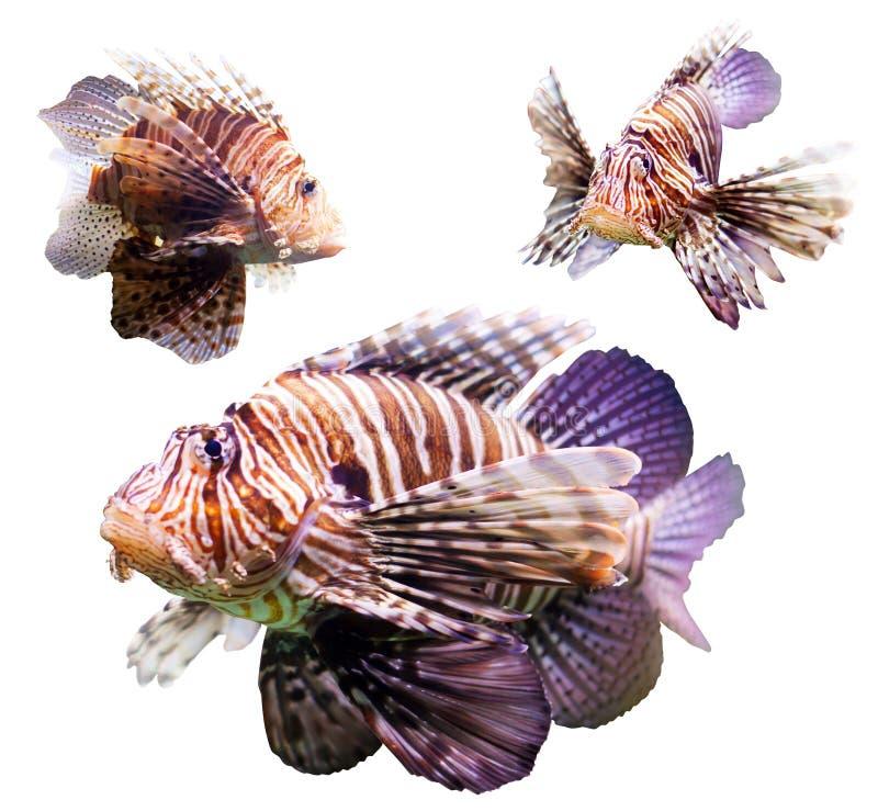 Insieme del lionfish rosso immagine stock libera da diritti