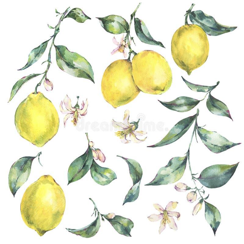 Insieme dell'annata dell'acquerello del limone giallo della frutta del ramo royalty illustrazione gratis