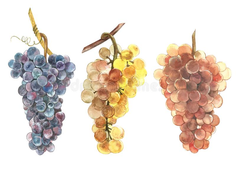 Insieme dell'illustrazione dell'acquerello dei mazzi di uva bianca e nera Illustrazione disegnata a mano dell'acquerello royalty illustrazione gratis