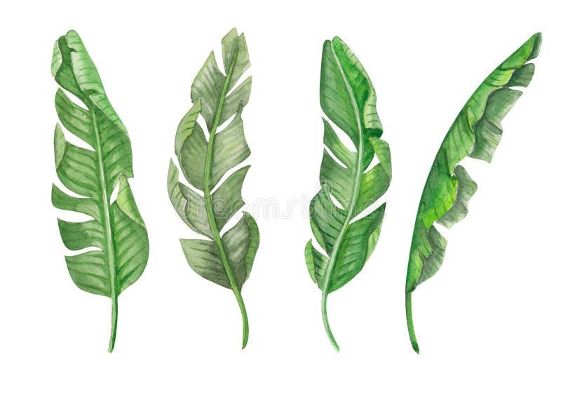 Insieme dell'illustrazione tropicale dell'acquerello delle foglie verdi della banana illustrazione vettoriale