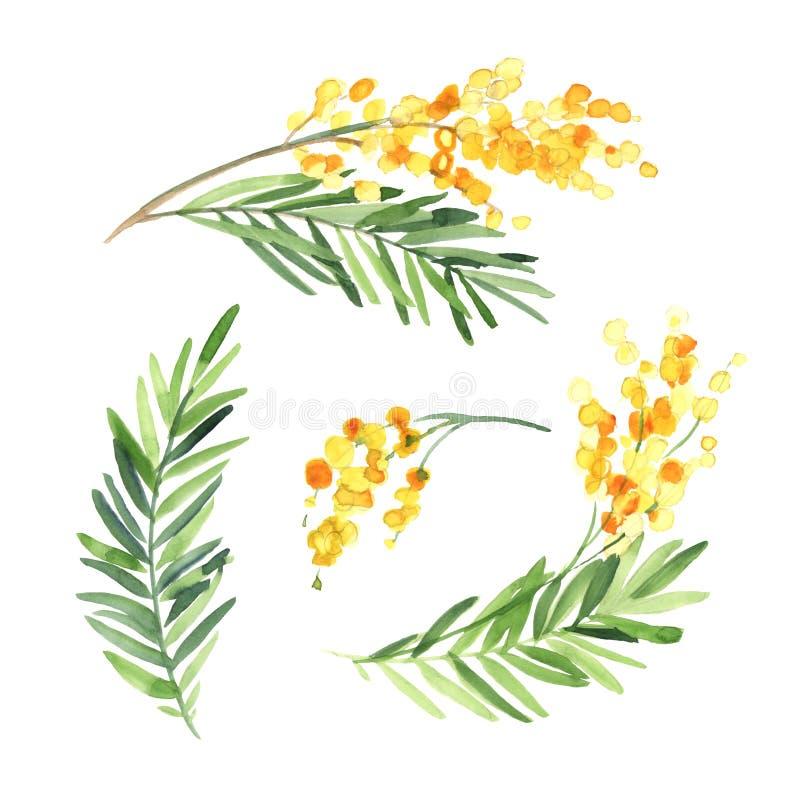 Insieme dell'isolato del fiore della mimosa dell'acquerello su fondo bianco illustrazione vettoriale