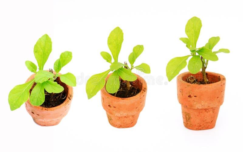 Insieme della pianta giovane con il piccolo flowerpot fotografie stock libere da diritti