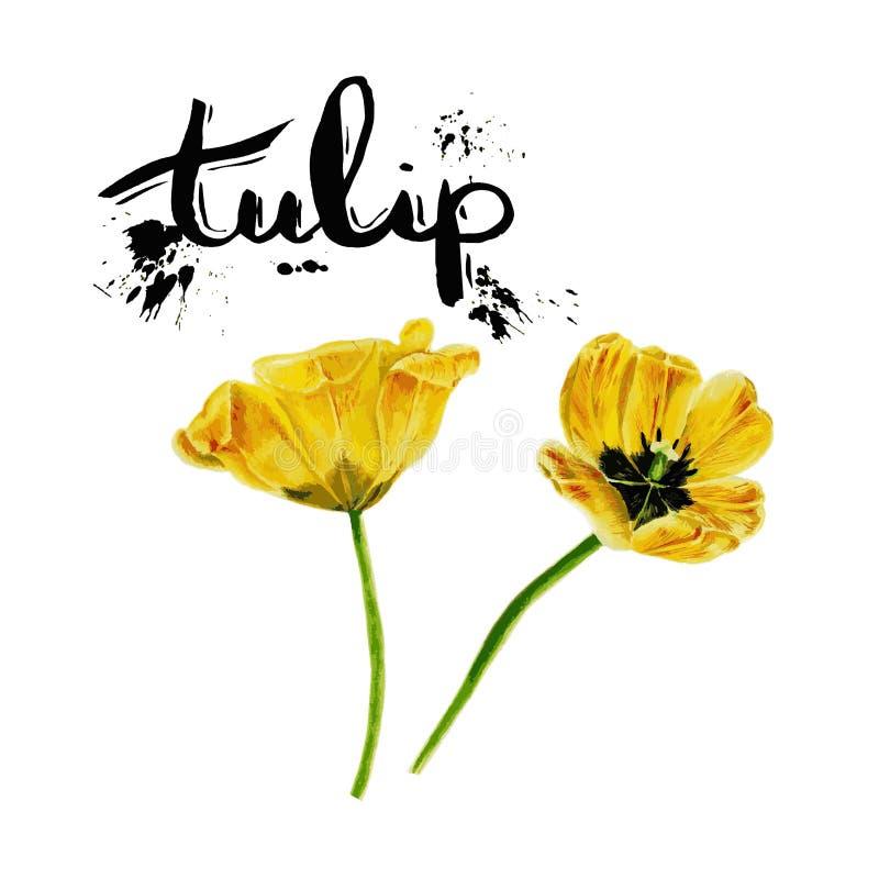Insieme della pittura dell'acquerello dei twoTulips Tulipano isolato giallo di vettore su fondo bianco royalty illustrazione gratis
