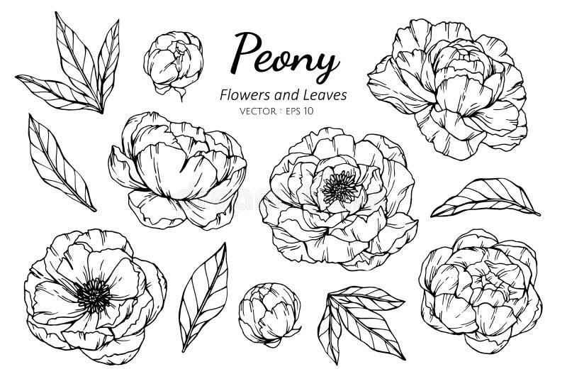 Insieme della raccolta del fiore e delle foglie della peonia che disegnano illustrazione illustrazione vettoriale