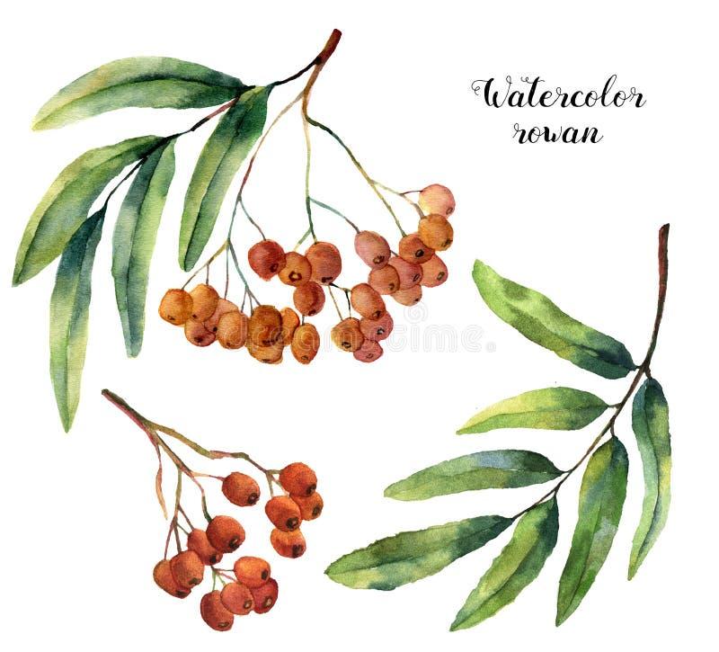 Insieme della sorba dell'acquerello Frutta dipinta a mano della montagna-ashe con le foglie ed il ramo isolati su fondo bianco Bo royalty illustrazione gratis