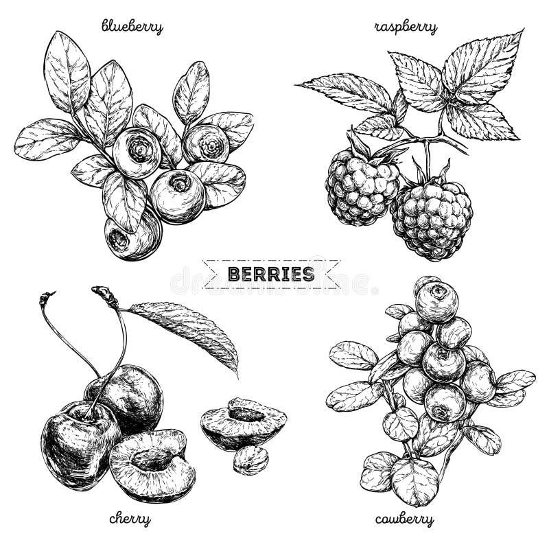 Insieme delle bacche disegnate a mano isolate su fondo bianco Lampone, mirtillo, ciliegia, uva di monte su fondo bianco illustrazione vettoriale