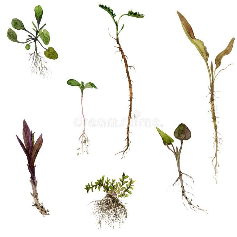 Insieme delle erbe del disegno dell'acquerello con le radici illustrazione vettoriale