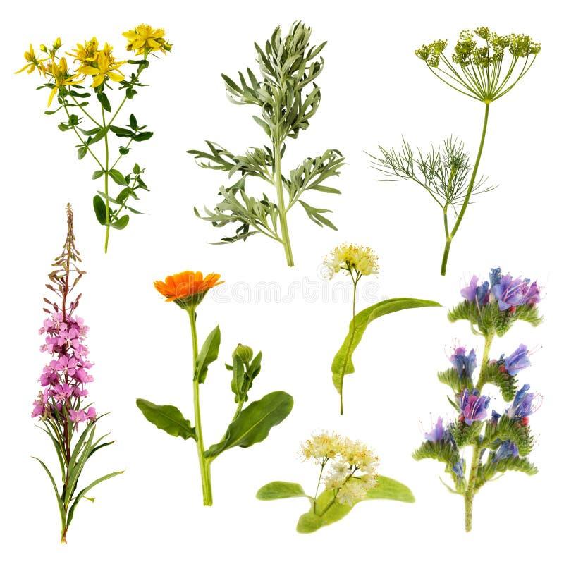 Insieme delle erbe isolate su fondo bianco fotografia stock