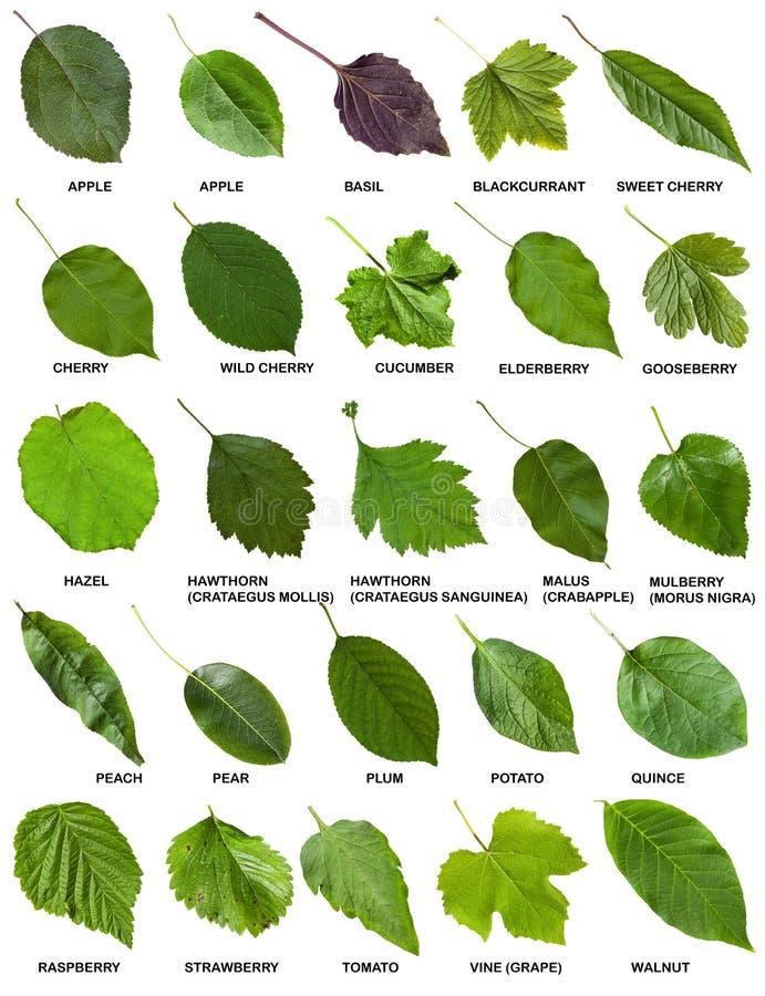 Insieme delle foglie verdi degli alberi e degli arbusti con i nomi immagine stock