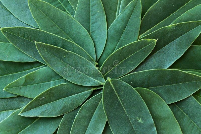 Insieme delle foglie verdi dell'acacia fotografia stock