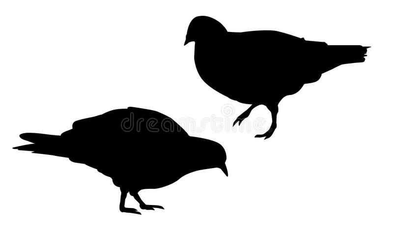 Insieme delle illustrazioni realistiche di vettore della siluetta che camminano e che beccano piccione, isolate illustrazione di stock