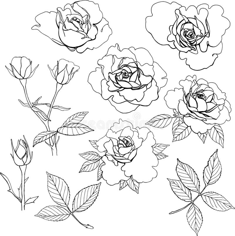 Insieme delle rose di vettore royalty illustrazione gratis