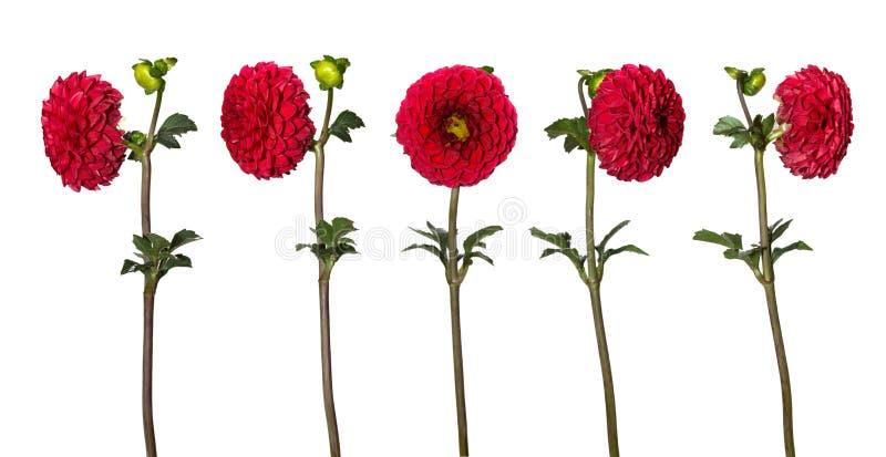 Insieme di bei fiori della dalia isolati su fondo bianco Un fiore dai lati differenti fotografia stock