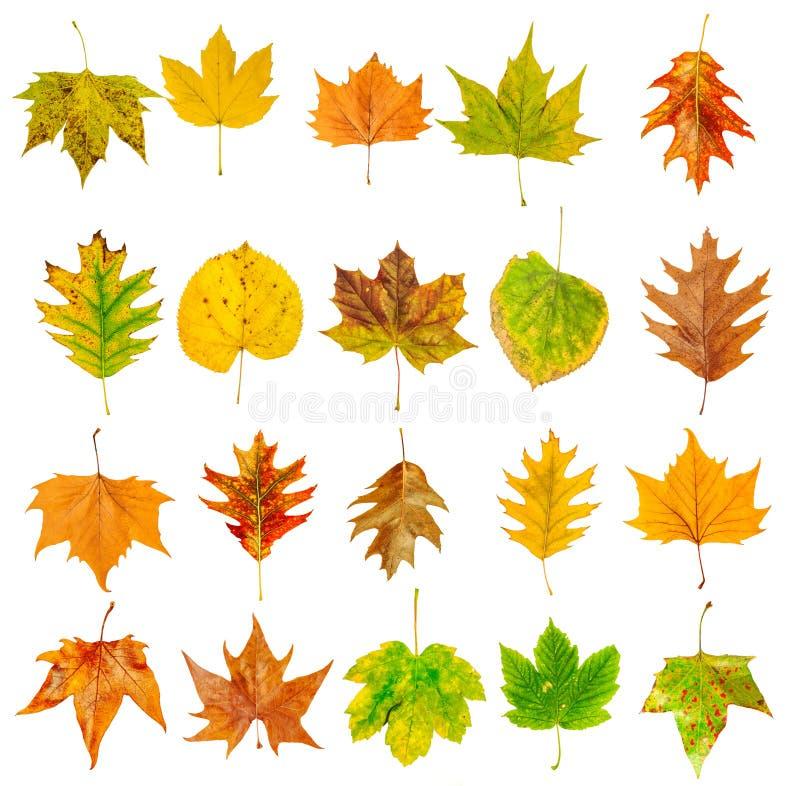 Insieme di belle foglie di autunno variopinte isolate su bianco immagine stock libera da diritti