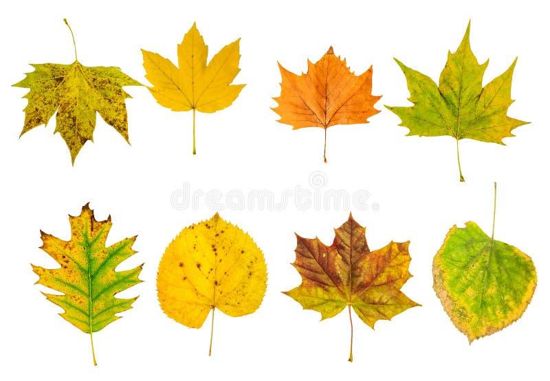 Insieme di belle foglie di autunno variopinte isolate su bianco immagini stock