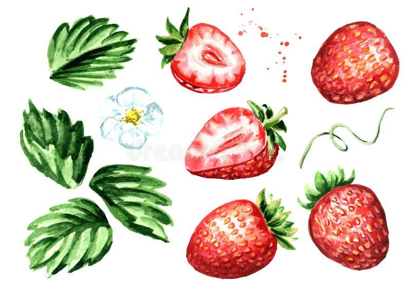 Insieme di elementi maturo della fragola delle bacche Illustrazione disegnata a mano dell'acquerello isolata su fondo bianco illustrazione di stock