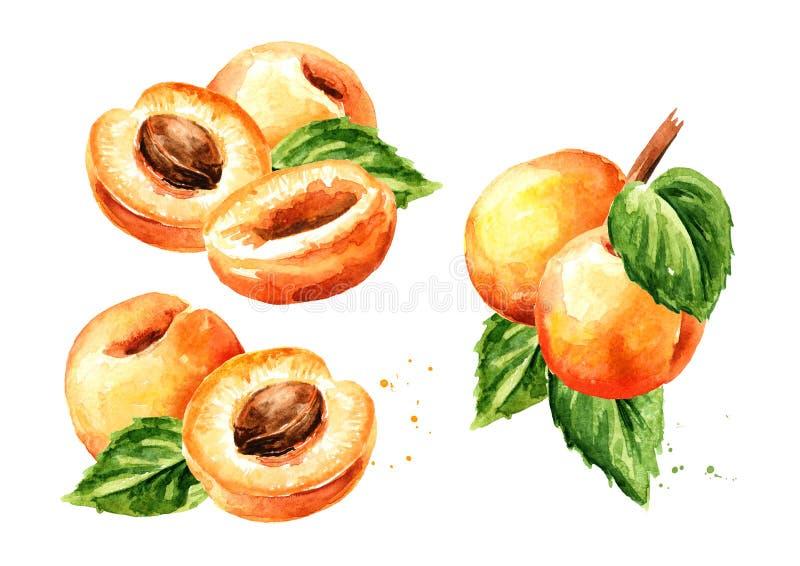 Insieme di frutti dell'albicocca Illustrazione disegnata a mano dell'acquerello, isolata su fondo bianco illustrazione di stock