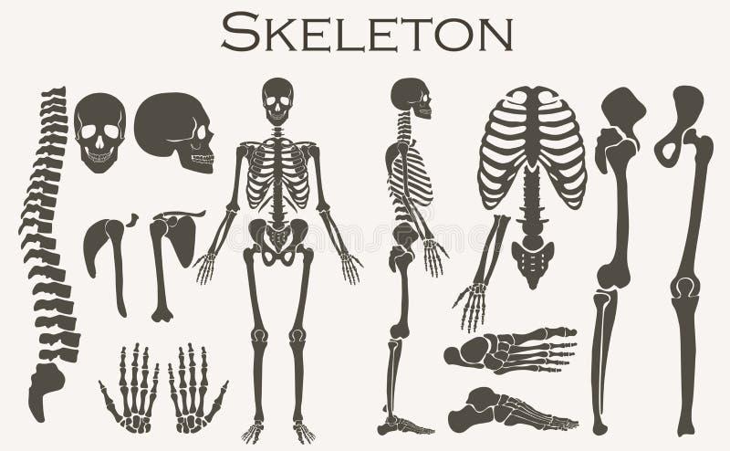 Insieme di scheletro della raccolta della siluetta delle ossa umane Alta illustrazione dettagliata di vettore royalty illustrazione gratis