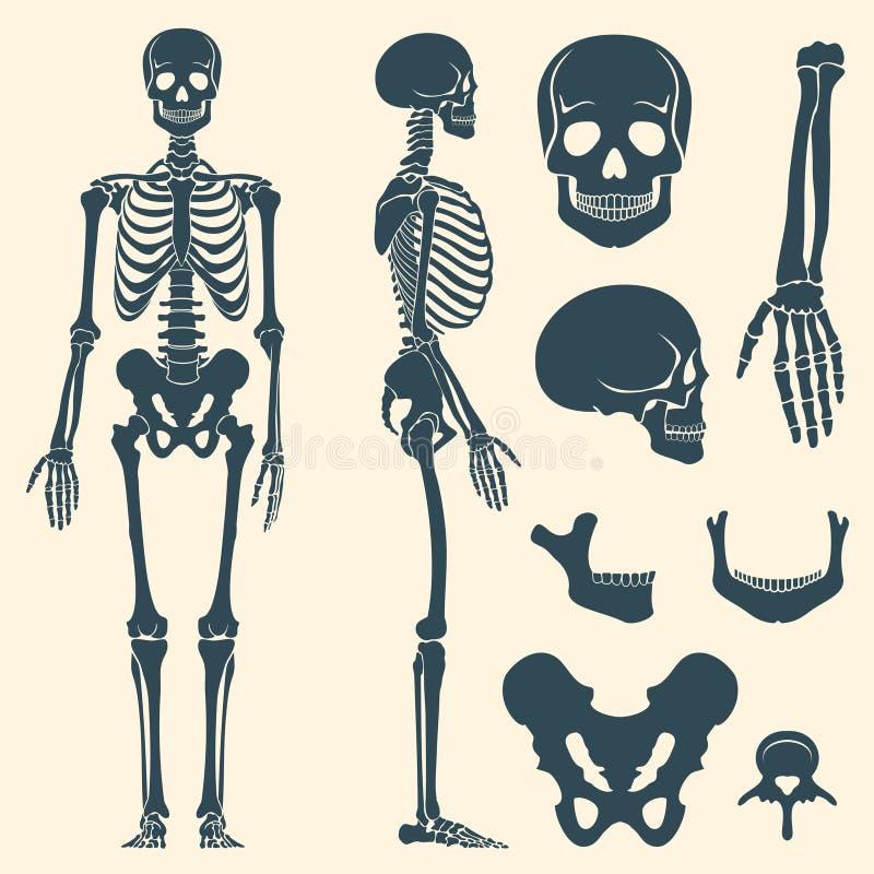 Insieme di scheletro di vettore della siluetta delle ossa umane royalty illustrazione gratis