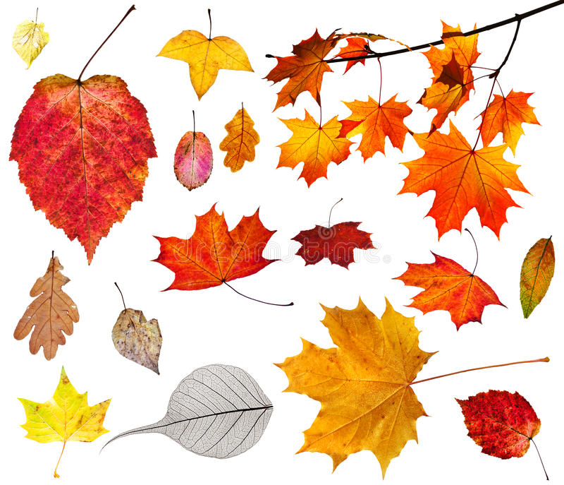 Insieme di varie foglie di autunno isolate su bianco fotografie stock
