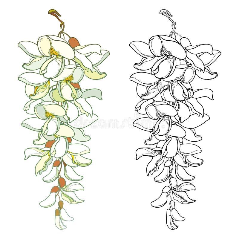 Insieme di vettore mazzo del fiore dell'acacia falsa del profilo o della locusta nera o di Robinia con il germoglio in nero ed in illustrazione vettoriale