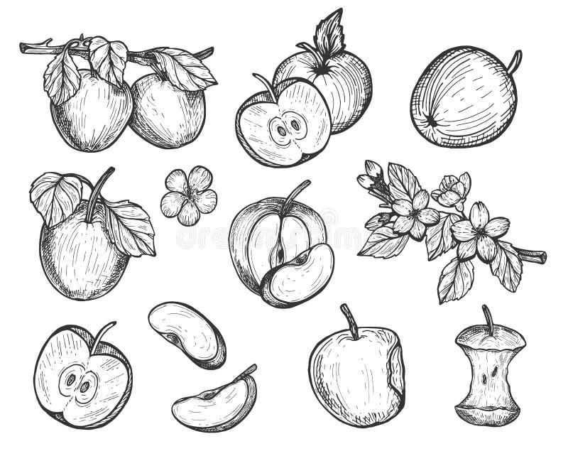 Insieme disegnato a mano altamente dettagliato delle mele illustrazione vettoriale