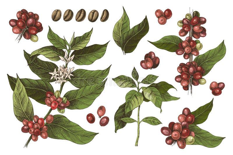 Insieme disegnato a mano dei rami variopinti e dei fagioli della pianta del caffè illustrazione vettoriale